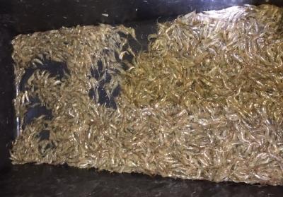 Чорноморський рибоохоронний патруль затримав порушника з 1 253 екз. креветки